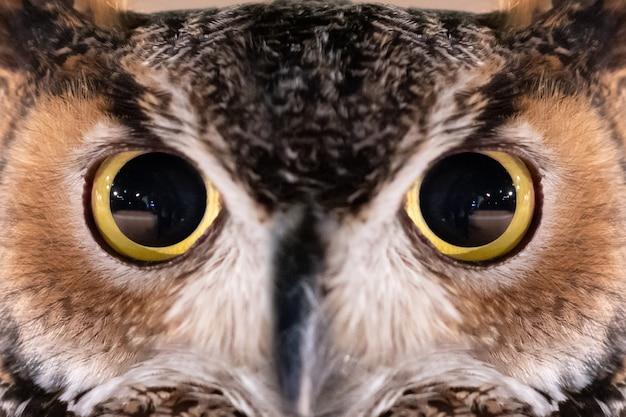 Nahaufnahme auf großer gehörnter owl face und auge