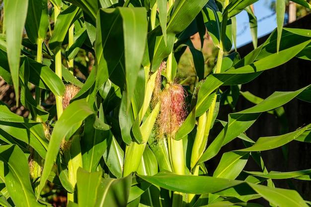 Nahaufnahme auf grünem maiskolben des maisbaums