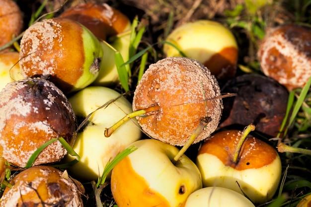 Nahaufnahme auf haufen verdorbenen faulen apfels