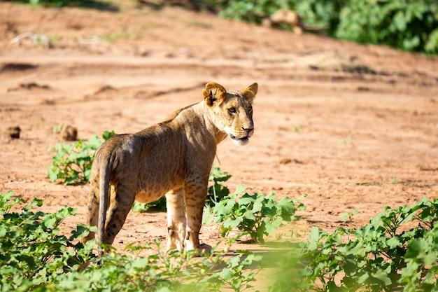 Nahaufnahme auf löwe, der durch die savanne geht