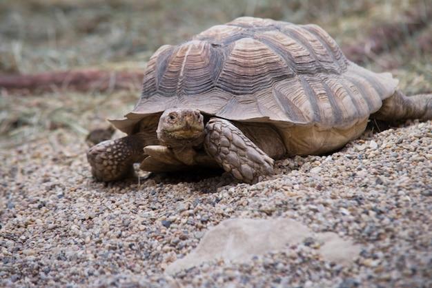 Nahaufnahme auf riesenschildkröte am strand
