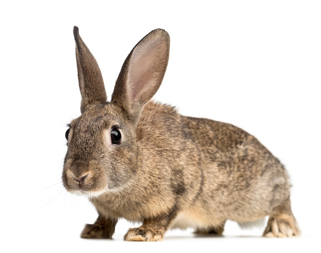 Nahaufnahme auf schönem kaninchen isoliert
