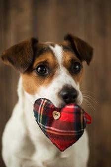 Nahaufnahme auf schönen hund jack russell