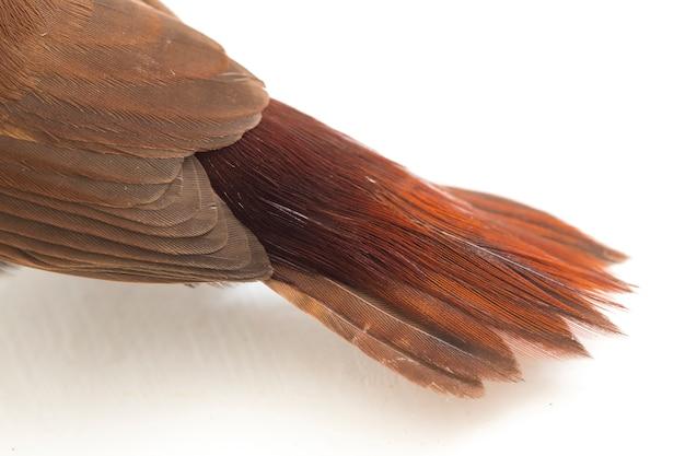 Nahaufnahme auf weißköpfigem vogel munia fink isoliert