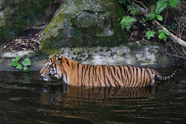 Nahaufnahme bengalischer tiger ist ein schönes tier und gefährlich im wasser im wald