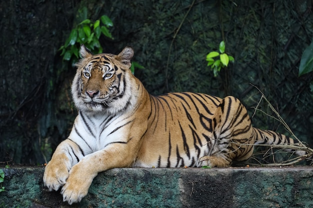 Nahaufnahme bengalischer tiger ist schönes tier und gefährlich im wald