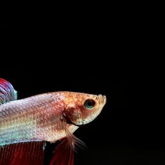 Nahaufnahme betta fische in einer ecke, die oben schaut