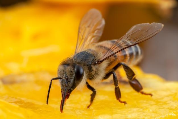 Nahaufnahme biene, die pollen von der blume extrahiert