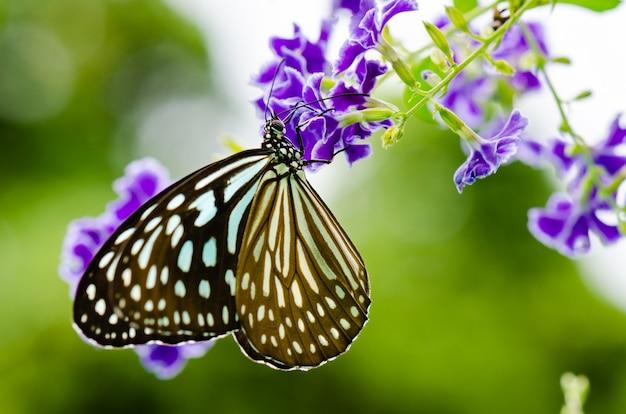 Nahaufnahme blue tiger butterfly oder tirumala hamata auf der suche nach nektar auf lila blume von golden dew drop