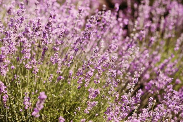 Nahaufnahme busch lavendel blume auf einem feld auf hügeln