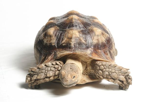 Nahaufnahme der afrikanischen spornschildkröte