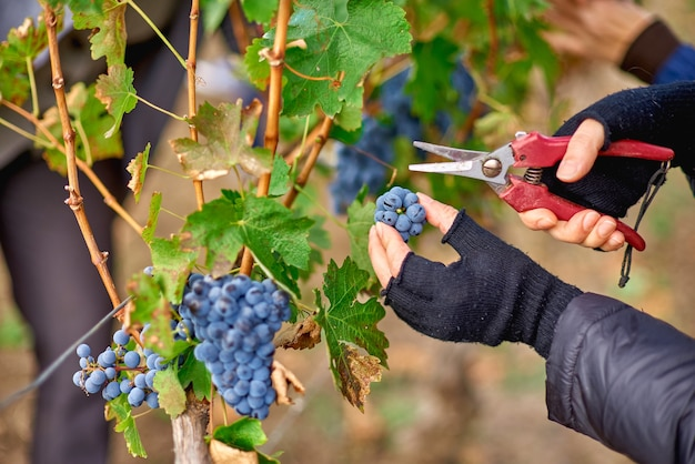 Nahaufnahme der arbeiterhände, die rote trauben von den reben während der weinernte im weinberg moldawien schneiden.