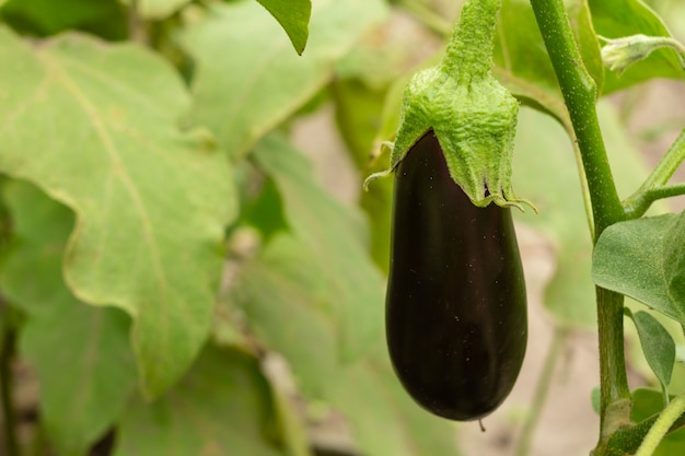 Nahaufnahme der aubergine, die an einem busch mit grünen blättern hängt. geringe schärfentiefe.