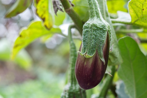 Nahaufnahme der aubergine, die auf einem busch mit grünen blättern im hintergrund wächst. geringe schärfentiefe.