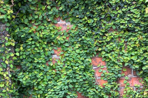 Nahaufnahme der backsteinmauer mit efeu auf den seiten