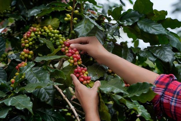 Nahaufnahme der bauern, die zweig von arabicas kaffeebaum auf kaffeebaum in der provinz nan in nordthailand pflücken, kaffeebohne single origin words class speciality.