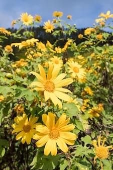 Nahaufnahme der baumringelblume (mexikanische sonnenblume).