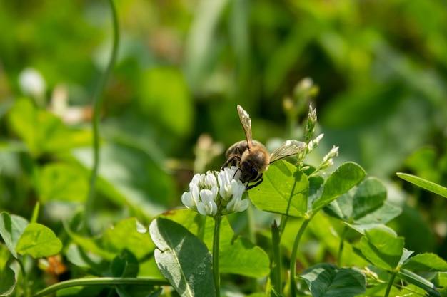 Nahaufnahme der biene bei der arbeit an der weißkleeblume, die pollen im garten sammelt