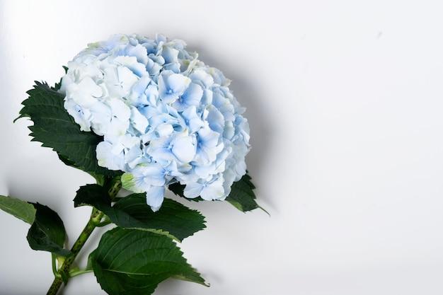Nahaufnahme der blauen hortensie blume