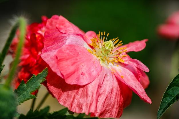 Nahaufnahme der blühenden roten mohnblumenblumen und der mohnblumenknospen.