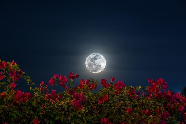 Nahaufnahme der bougainvillea lila blume mit super moon