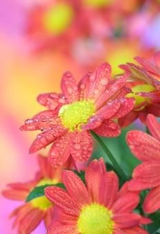 Nahaufnahme der chrysanthemenblume