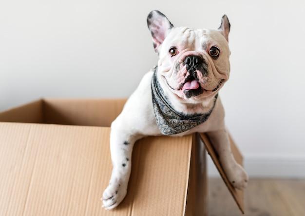 Nahaufnahme der französischen bulldogge