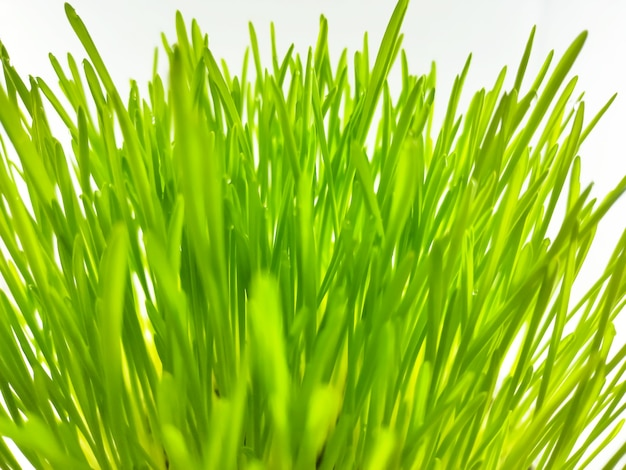 Nahaufnahme der frischen grünen weizengrasanlage im topf. rohe weizengraspflanze zur herstellung von antioxidativen getränken. junge pflanze gut für heimtierpflanzenfresser