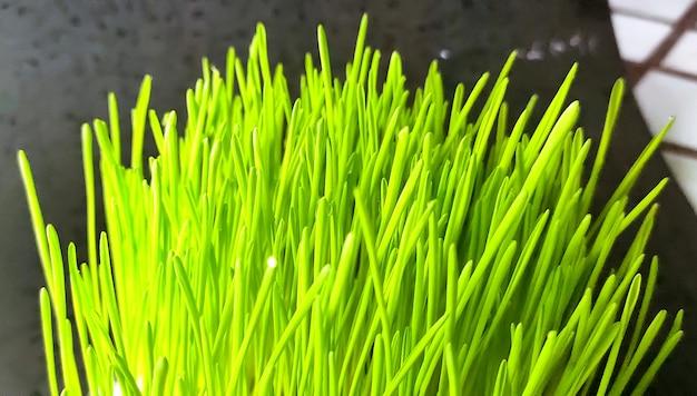 Nahaufnahme der frischen grünen weizengrasanlage im topf. rohes weizengras