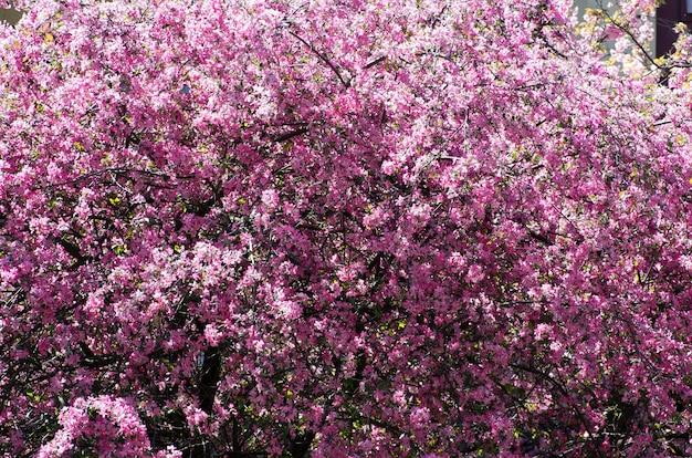 Nahaufnahme der frühlingskirschblume