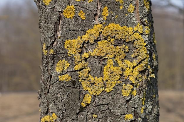 Nahaufnahme der gelben schuppe der xanthoria parietina auf der rinde eines baummoos
