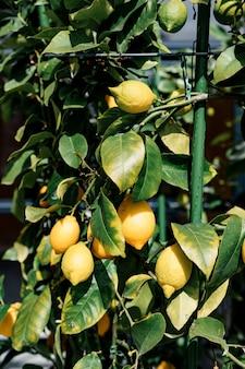 Nahaufnahme der gelben zitronenfrucht auf dem baum auf den zweigen im laub