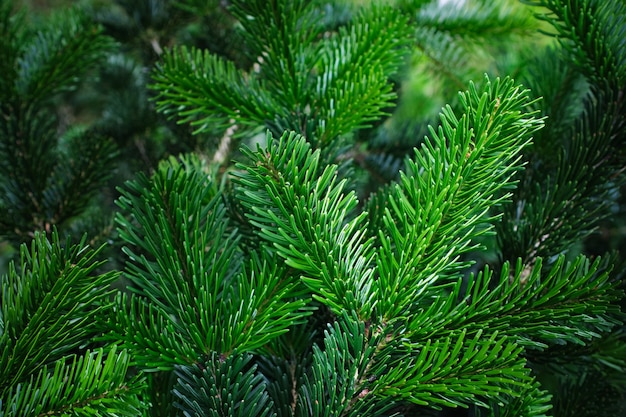 Nahaufnahme der grünen blätter eines tannenbaums Premium Fotos