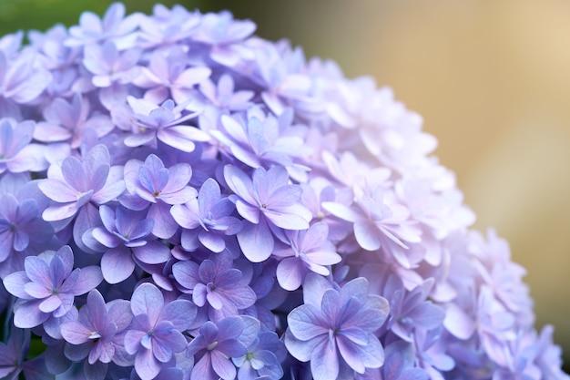 Nahaufnahme der grünen hortensie (hortensie macrophylla)
