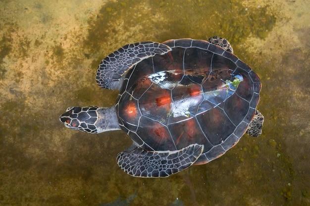 Nahaufnahme der grünen meeresschildkröte oder der chelonia mydas