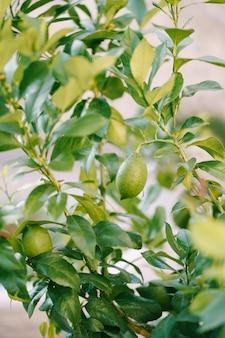 Nahaufnahme der grünen zitronenfrucht auf den zweigen des baumes unter dem laub
