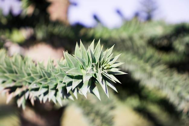 Nahaufnahme der grünen zweige eines araucaria-baumes.