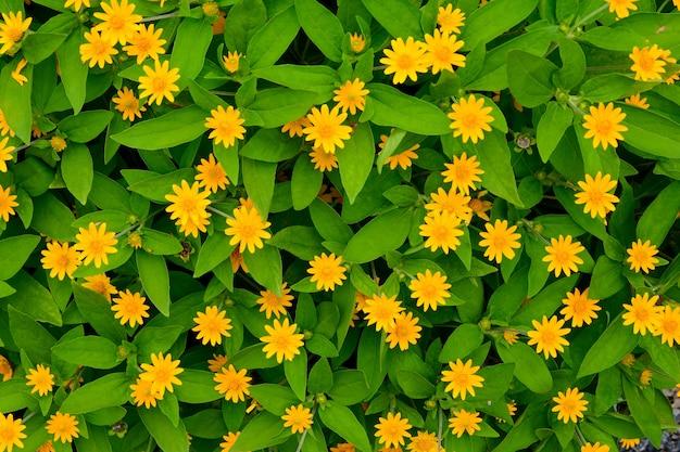 Nahaufnahme der gruppe kriechende milchblume mit grünem blatt