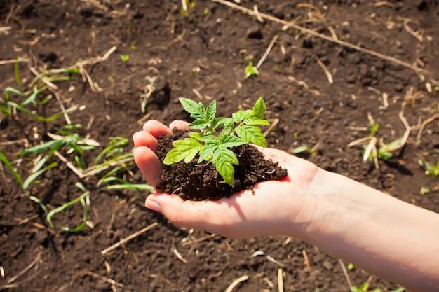 Nahaufnahme der hände der frau, die einen sämling im boden pflanzen.