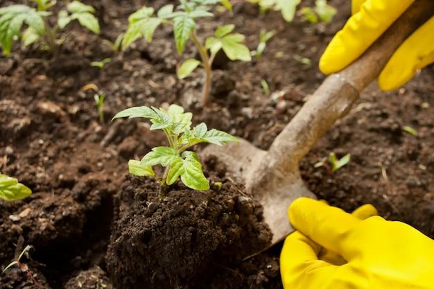 Nahaufnahme der hände der frau in den gelben handschuhen, die einen sämling im boden pflanzen.