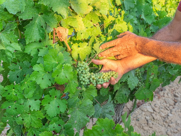 Nahaufnahme der hände eines winzers oder traubenbauers, der die weinlese inspiziert