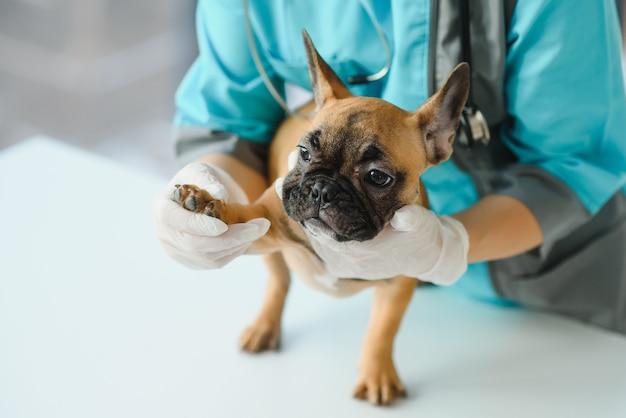 Nahaufnahme der hand des französischen bulldoggenhundes und des tierarztes an der tierklinik