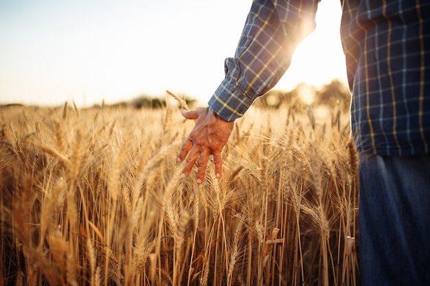 Nahaufnahme der hand des mannes, die die goldenen reifen ährchen des weizens in der mitte des feldes berührt