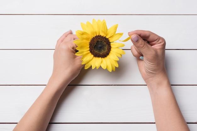 Nahaufnahme der hand die sonnenblumenblumenblätter auf weißem hölzernem schreibtisch zupfen