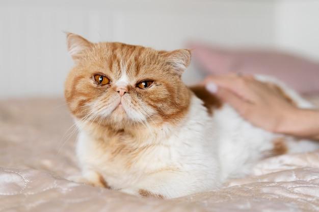 Nahaufnahme der hand, die süße katze streichelt