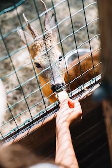 Nahaufnahme der hand einer person, die nahrung zu den rotwild im käfig speist