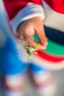 Nahaufnahme der hand eines kleinen kindes, das eine zerbrechliche löwenzahnuhr mit gefiederten samen hält, die im wind für einen glücklichen wunsch als symbol der freiheit wehen.