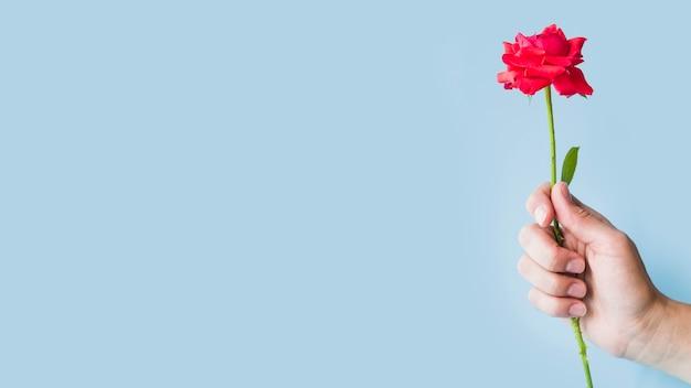 Nahaufnahme der hand rote rosen gegen blauen hintergrund halten
