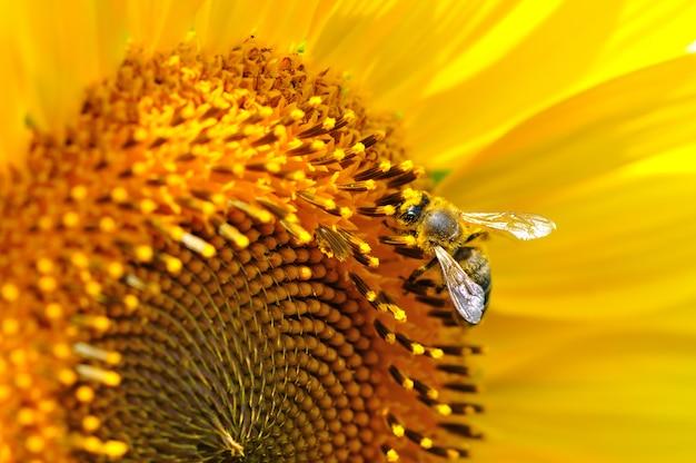 Nahaufnahme der honigbiene, die auf sommergelbe sonnenblume sitzt