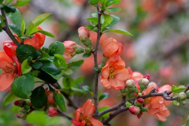 Nahaufnahme der japanischen quitte blüht große blüten und knospen der orangefarbenen japanischen quitte auf natürlichem hinterg...